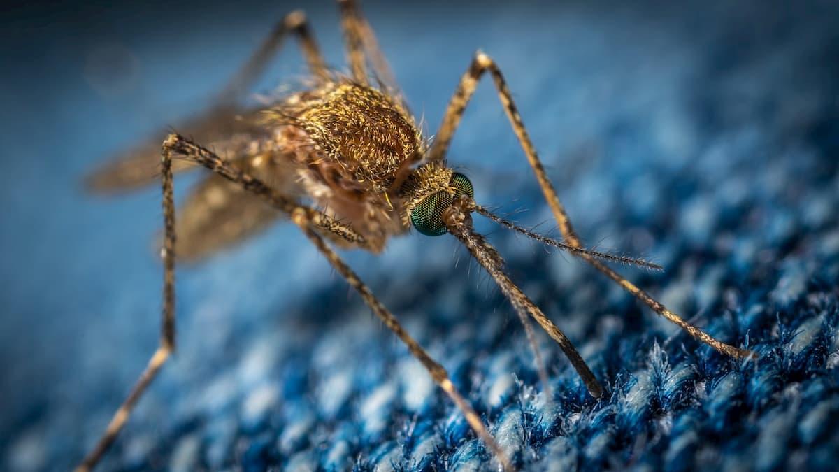 光学式レーダーが蚊の朝と夕方の「ラッシュアワー」を発見