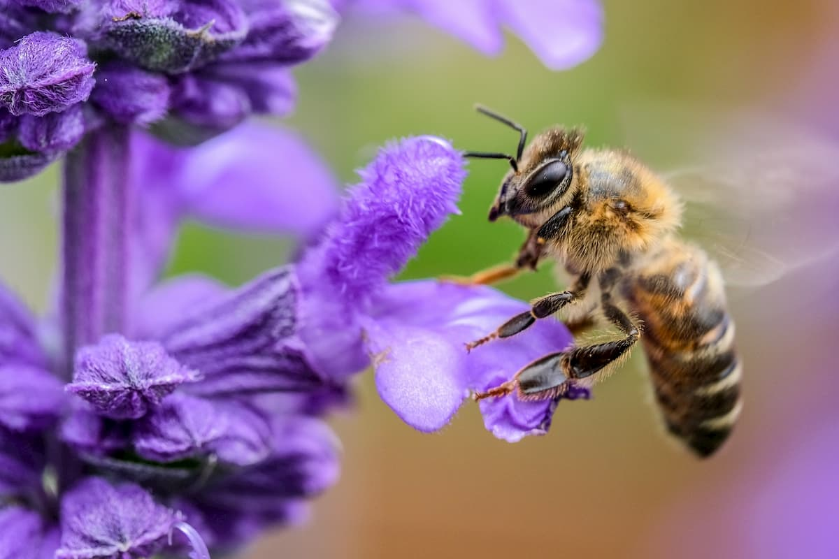 ミツバチの毒が乳がん細胞を死滅させる、ハリー・パーキンス医学研究所と西オーストラリア大学の研究